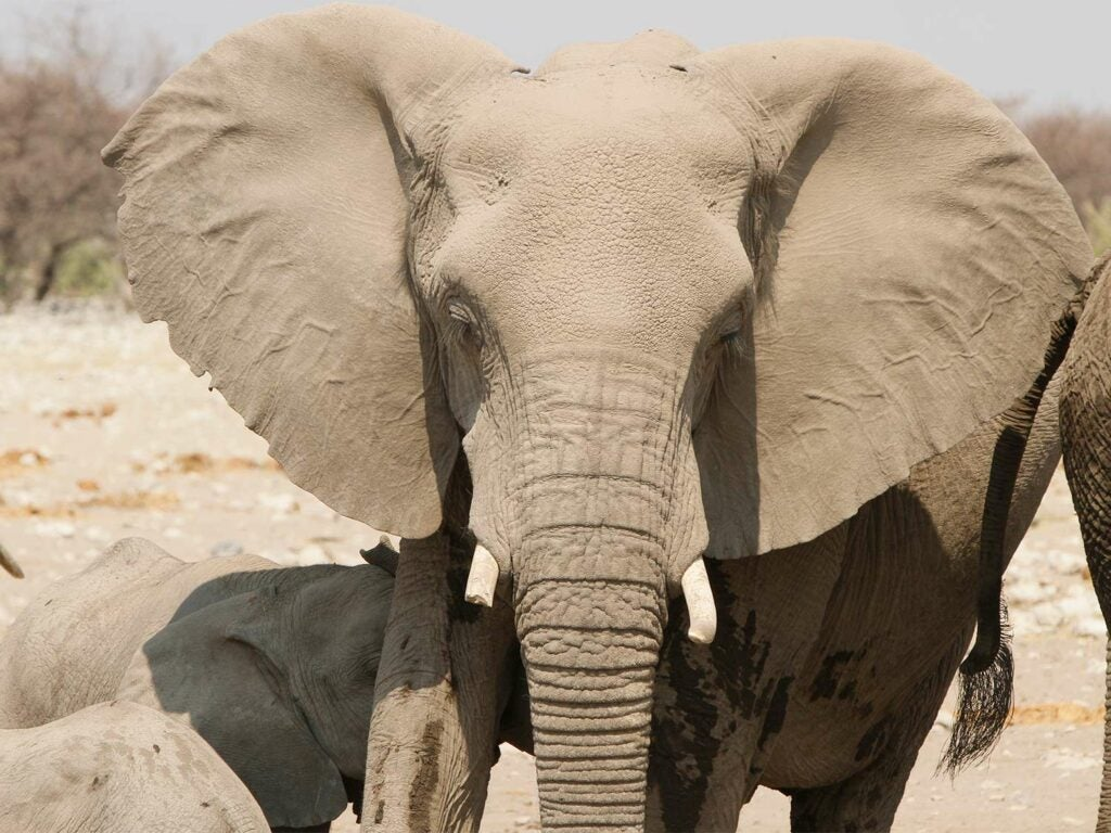 A wild cow elephant in the african plains.