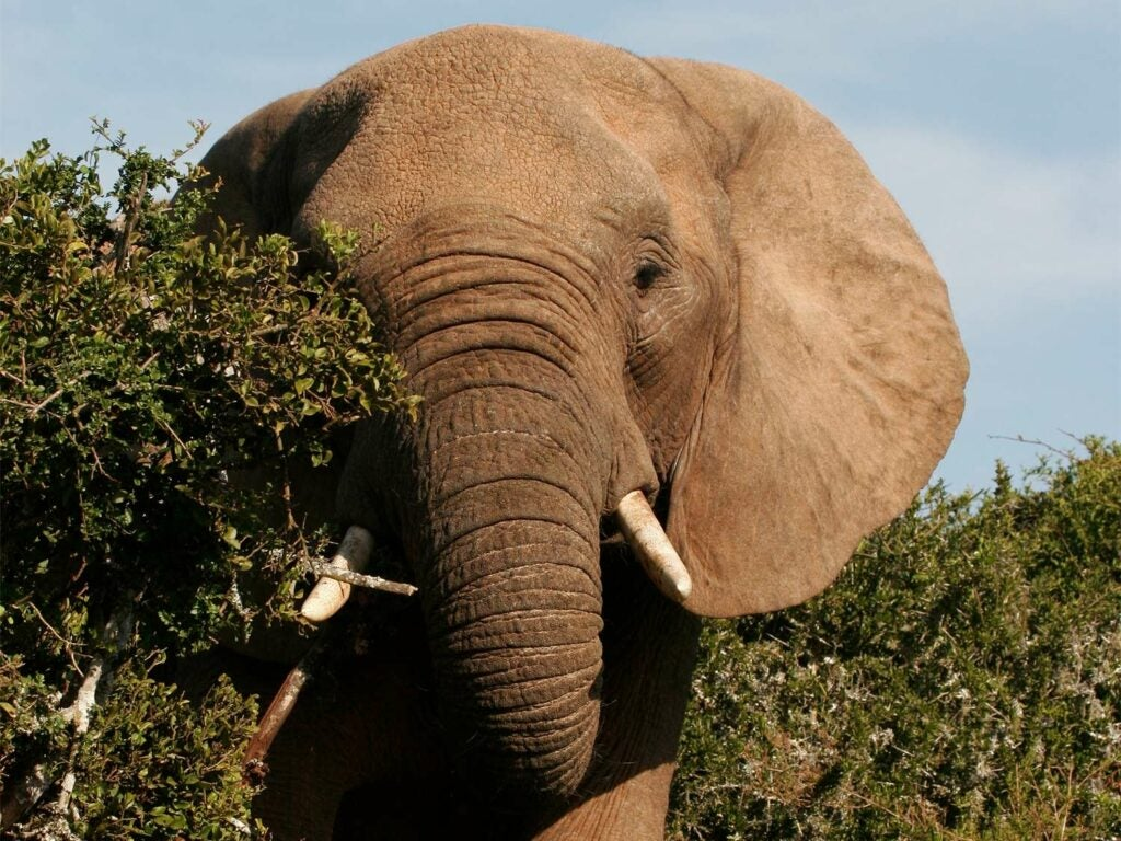 A cow elephant hides behind a tree.