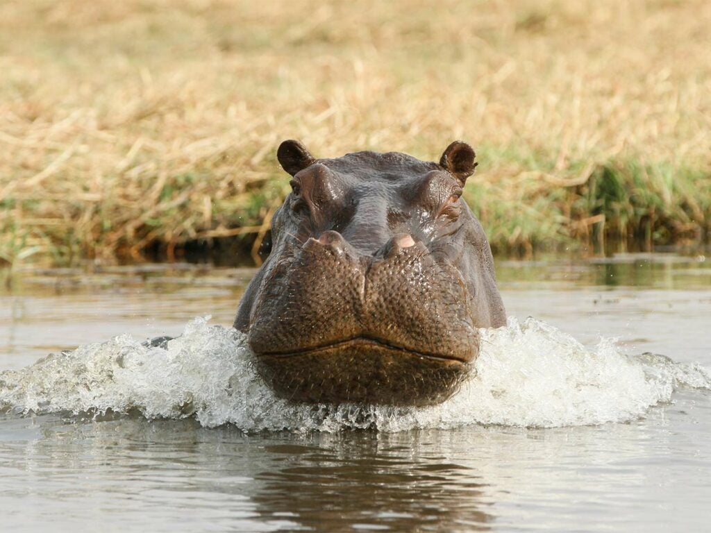 An angry hippo charging at the photographer through the water.