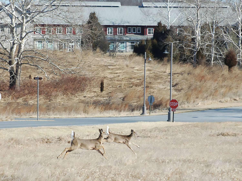 Two deer running through an open field near a road.