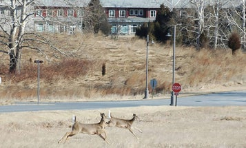 Will a Decrease in Roadkill Mean More Deer in the Woods this Fall?
