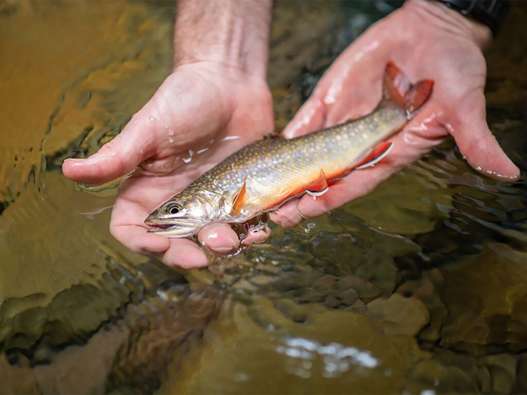 A small brook trout being held i the water by two hands.