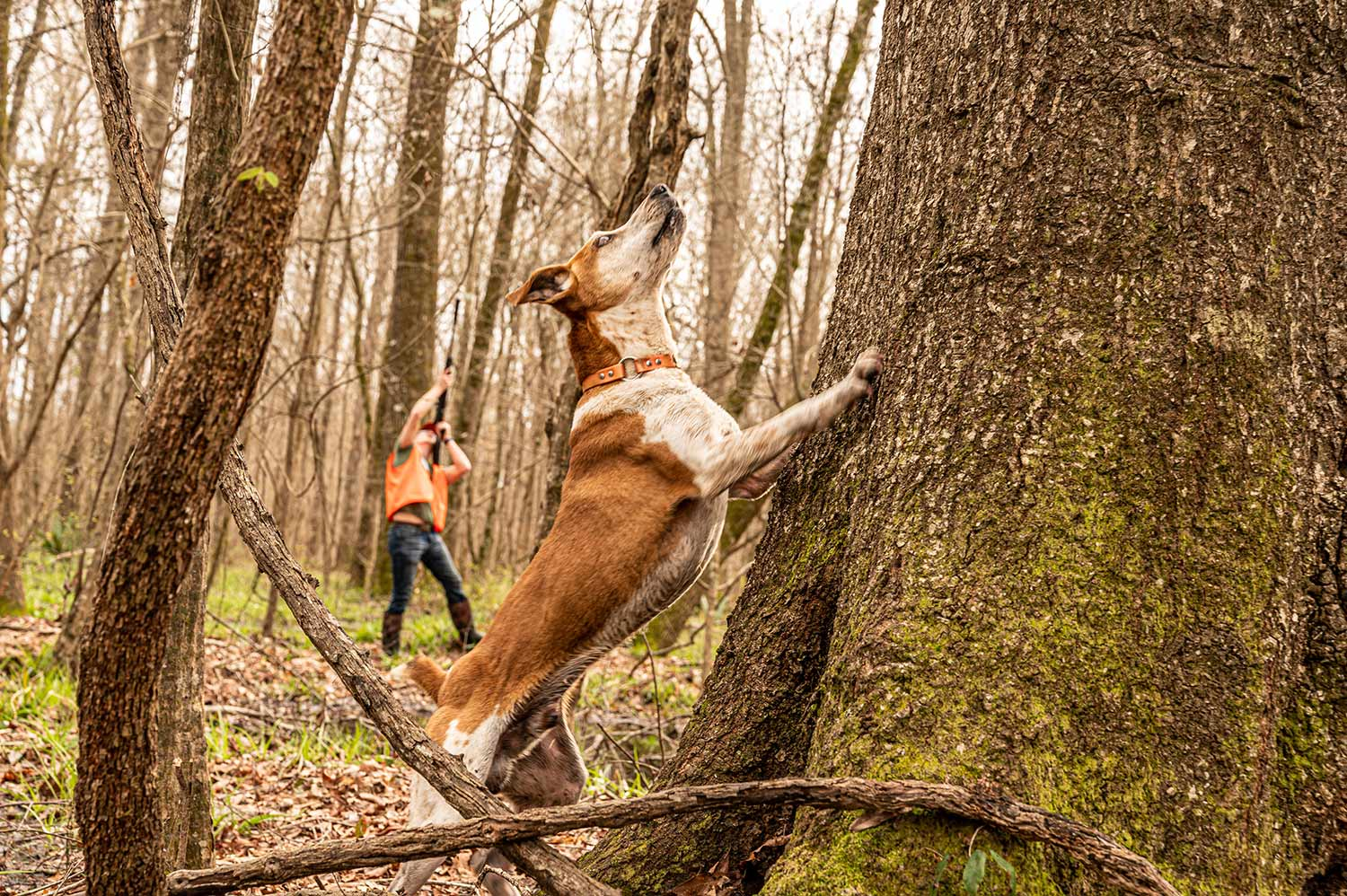 A squirrel hunting dog with front paws on the tree.