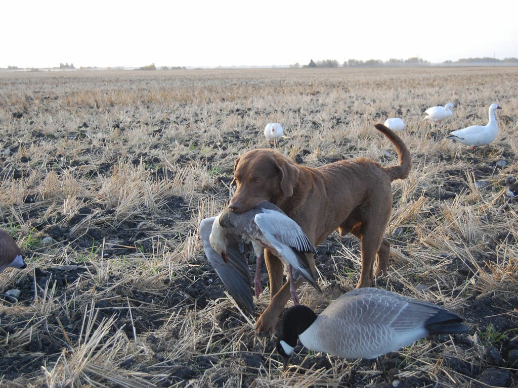 A hunting do retrieving ducks from a field.