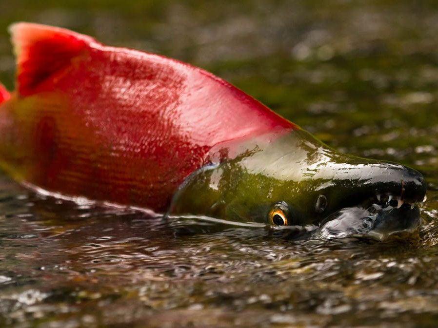A sockeye salmon in very shallow water.