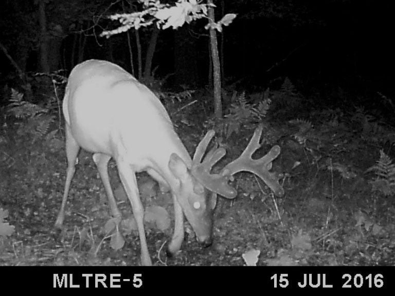 Black and white trail cam photo of a full velvet whitetail deer at night.