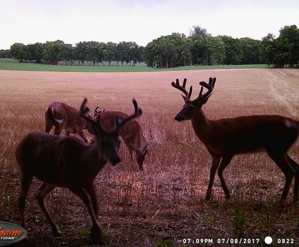 Trail camera photograph of full velvet whitetail deers in a food plot.
