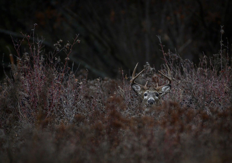 A whitetail deer's head peeking over tall grass in a field.