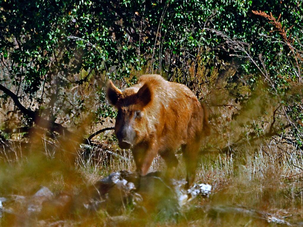 A brown hog walking through a field.