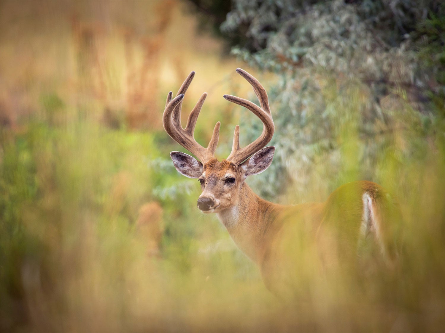 A whitetail buck standing in tall grass.