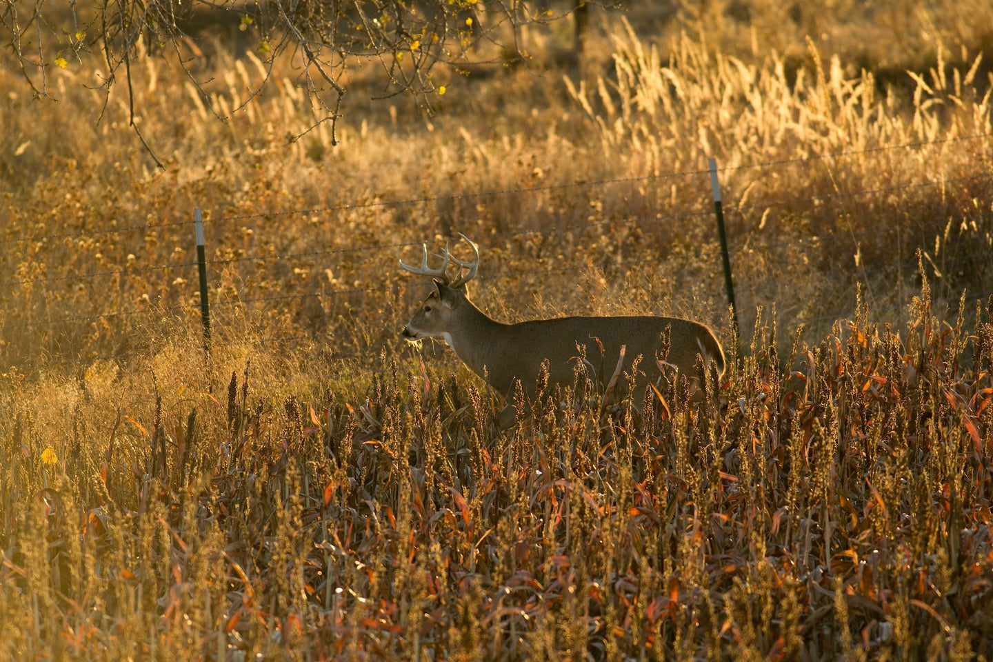 whitetail buck walking alongside a barbed wire fence during golden hour