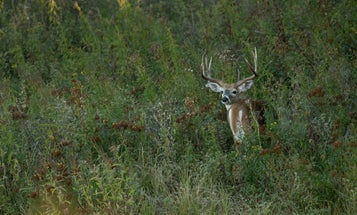 3 Steps for Tagging a Monster Early-Season Buck