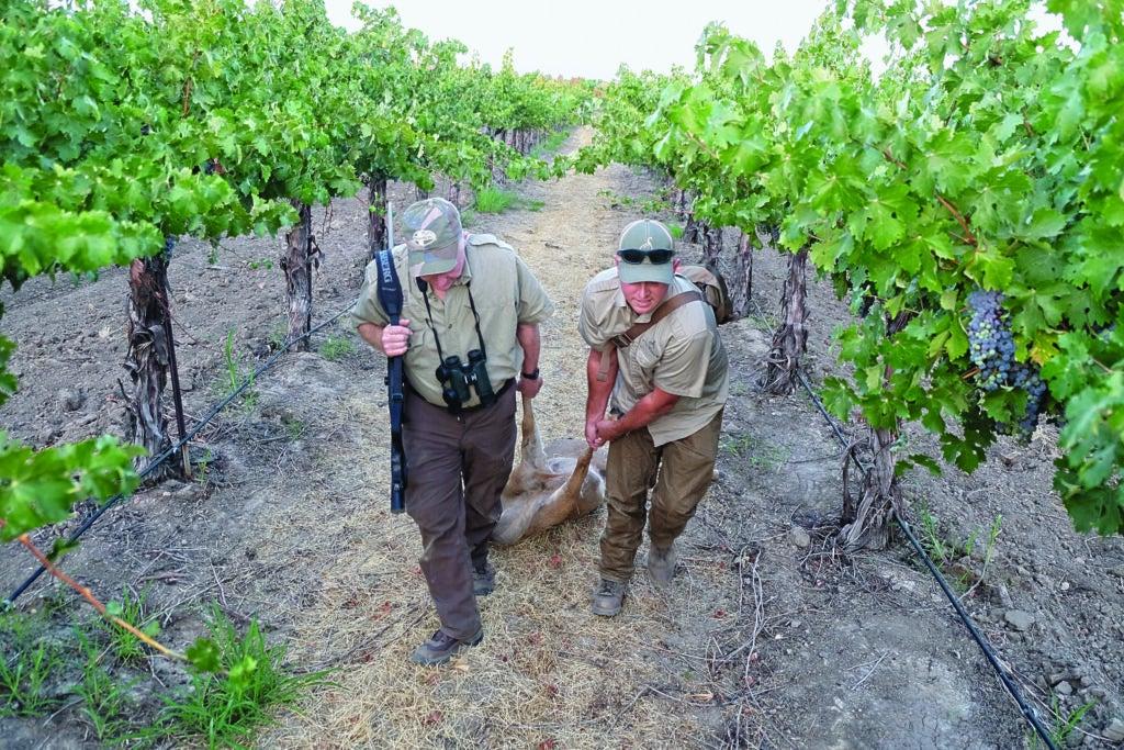 Two hunters dragging a blacktail buck through a California vineyard.