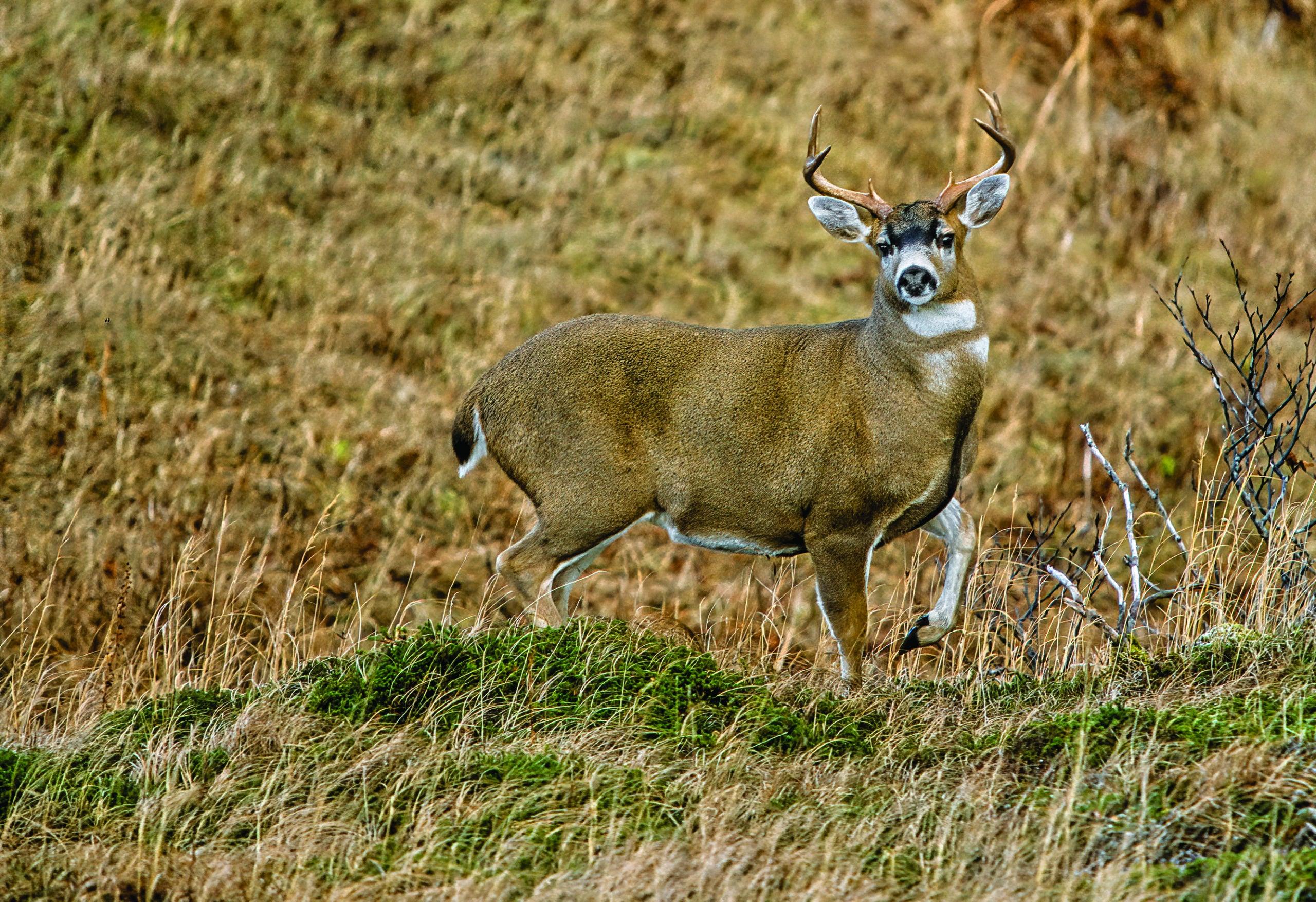A blacktail deer on a hillside.