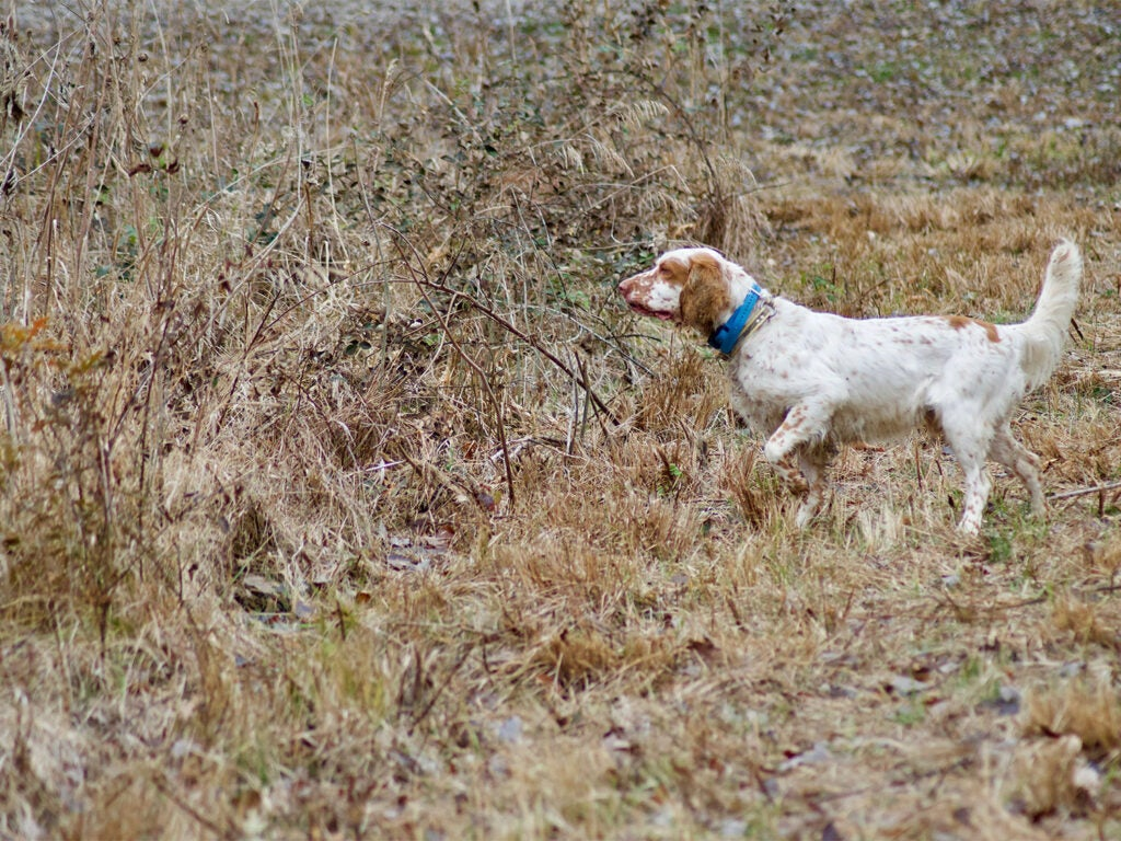 A hunting dog pointing in an open field.