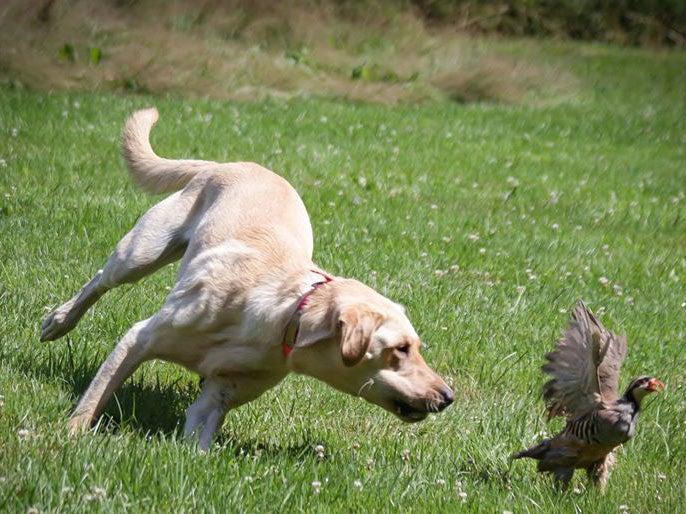 A hunting dog running through an open field chasing after a bird.