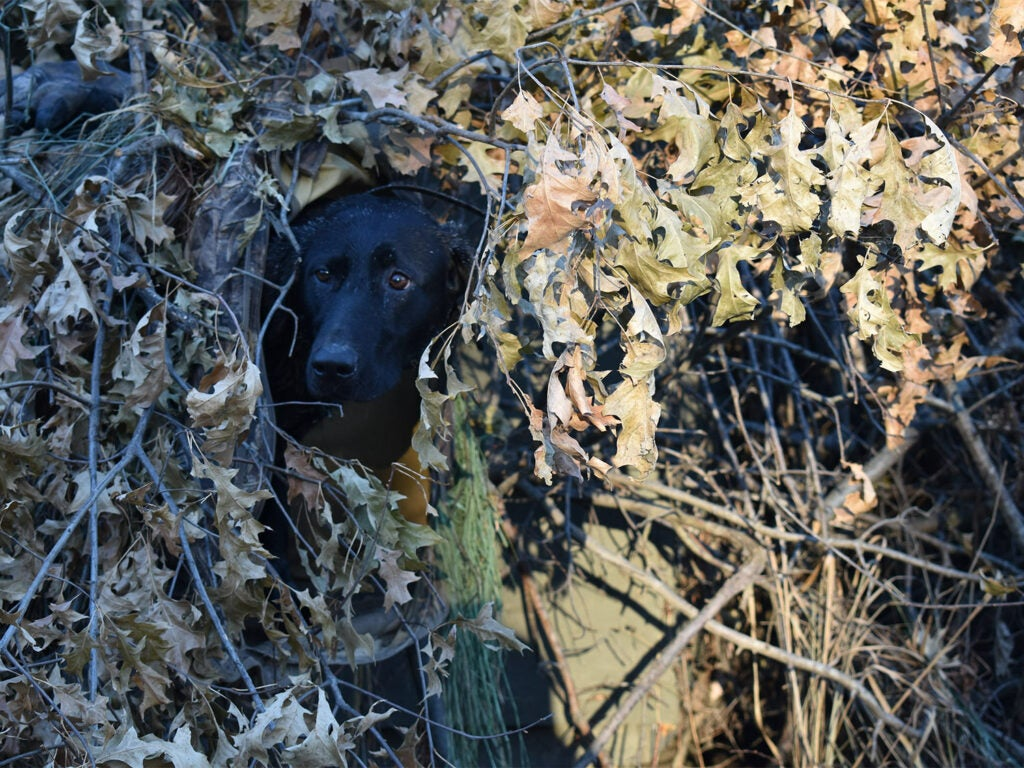 A hunting dog concealed in a hunting blind.