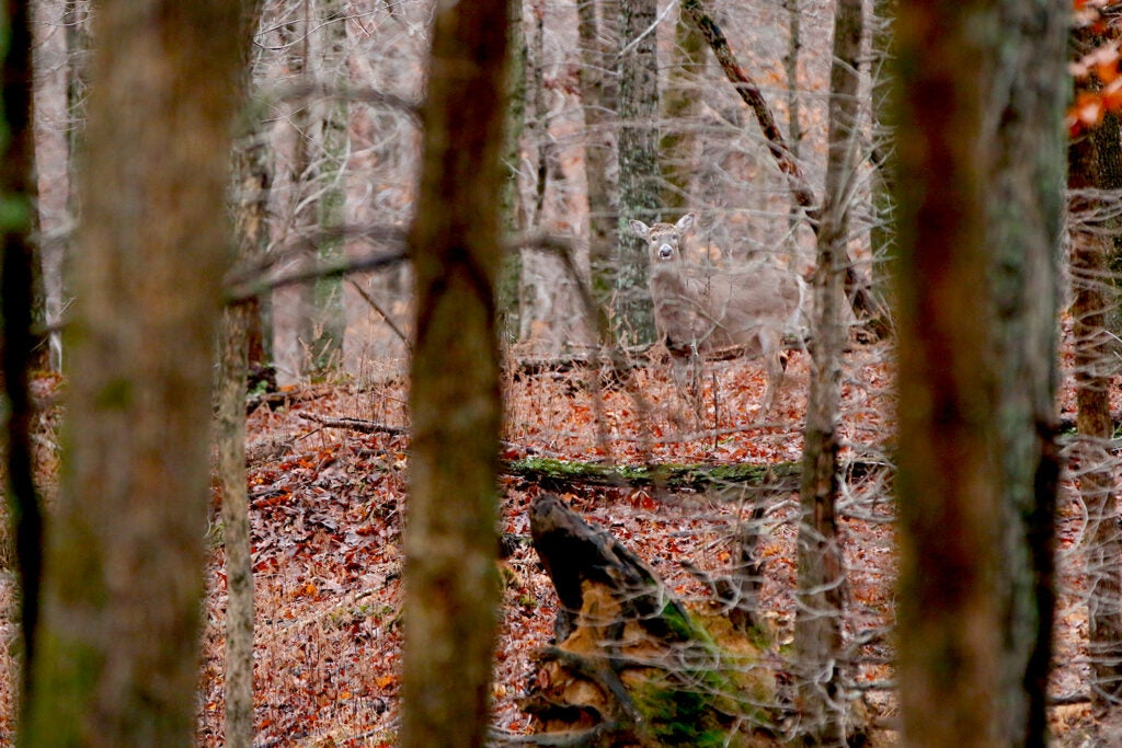 A whitetail deer obscured by thick trees and forestry in the woods.