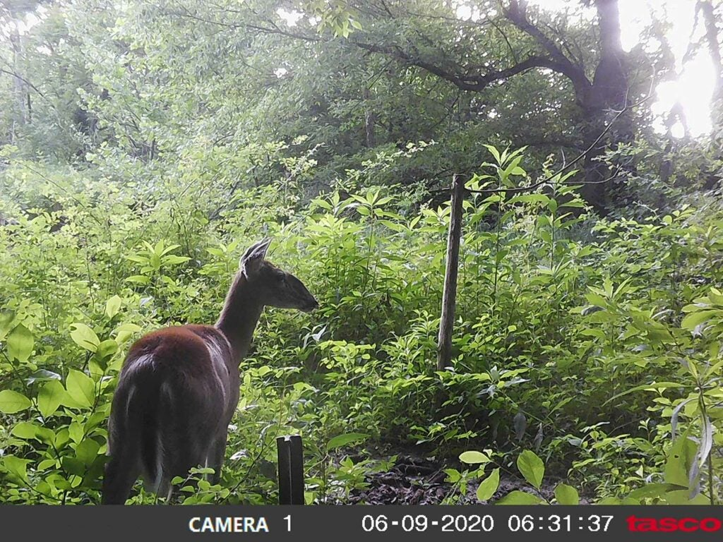 Trail cam footage of a deer in tall grass.