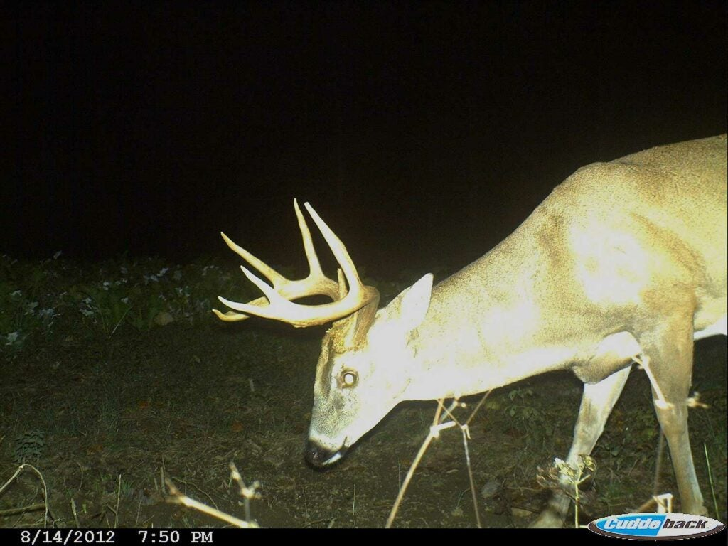 A trail camera photograph of a whitetail buck in the nighttime.