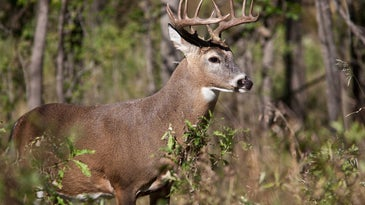A whitetail deer stands inn brush at a treeline.