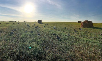Hunting Early-Season Resident Geese in North Dakota is the Hottest Shoot of the Summer
