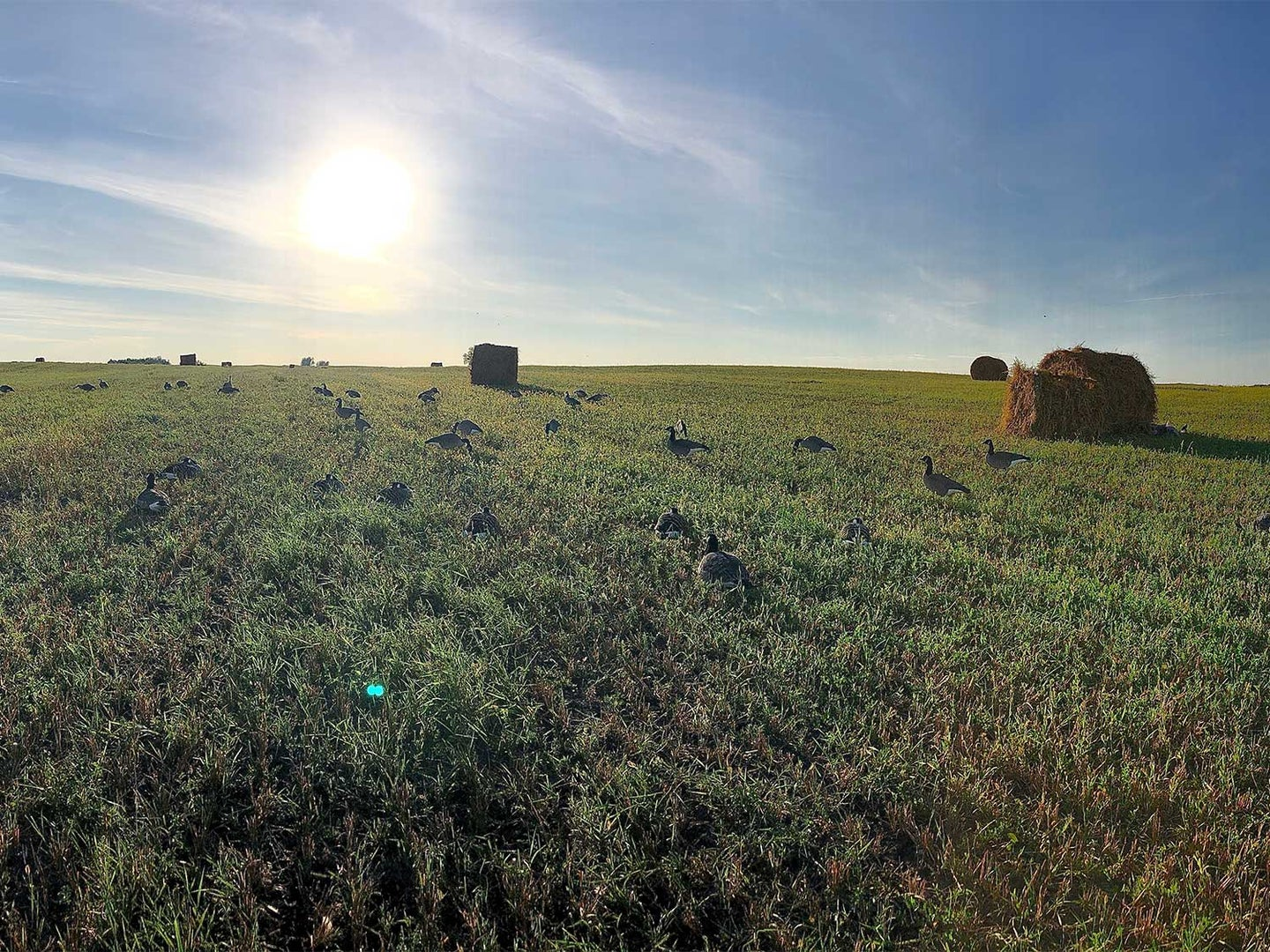 A large field with hay bales and geese.
