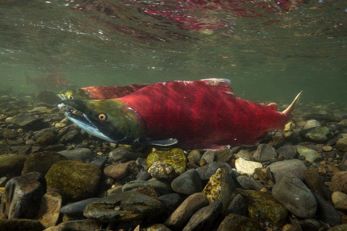 Red sockeye salmon with hooked jaw swimming in Alaska stream.
