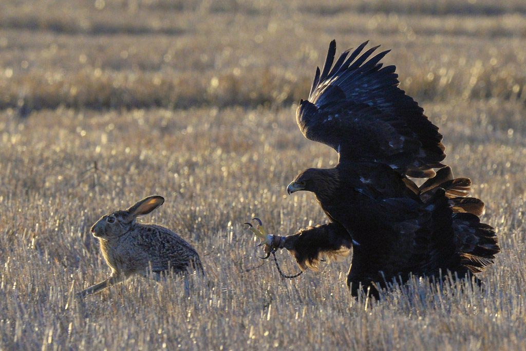 A golden eagle pursues a small rabbit in an open field.
