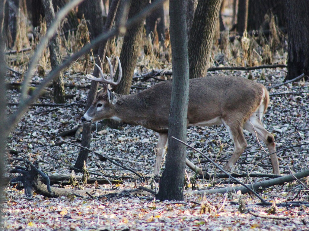 A whitetail deer feeding in the woods.