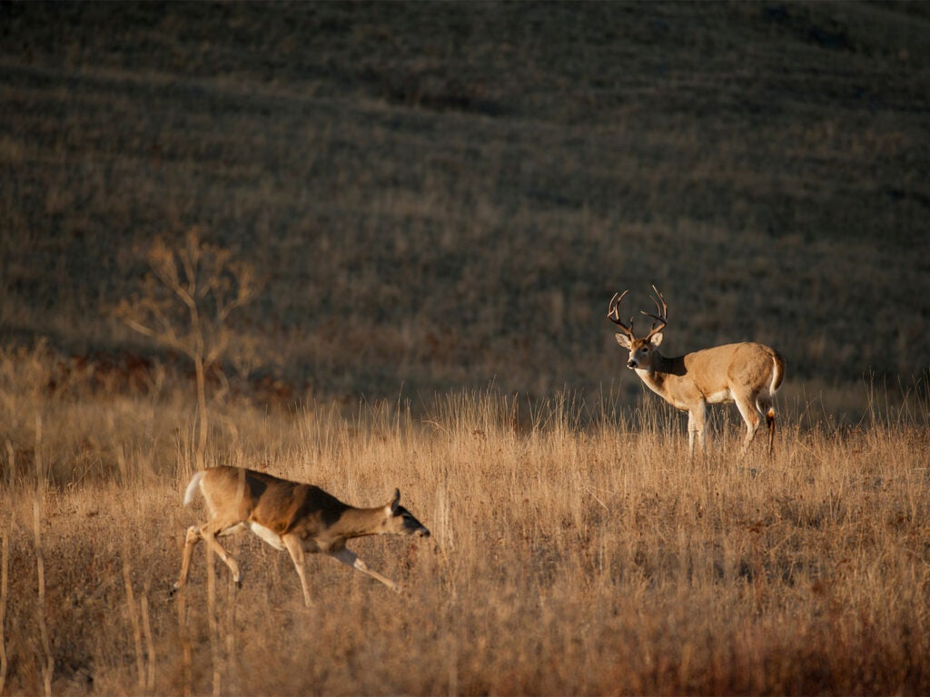 Two whitetail deer circling each other during the rut in an open field.