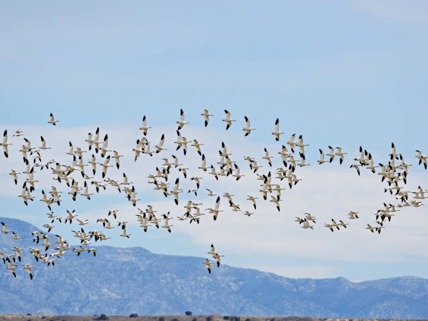 A flock of geese flying through the air.