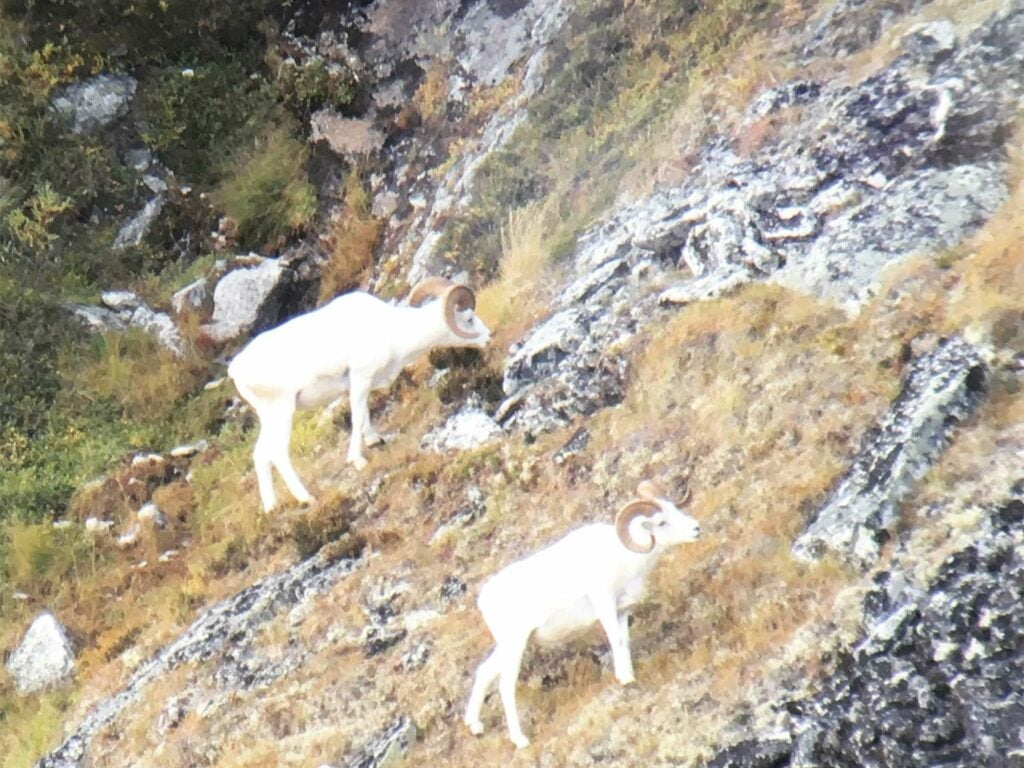 Two white dall sheep on a rocky hillside.