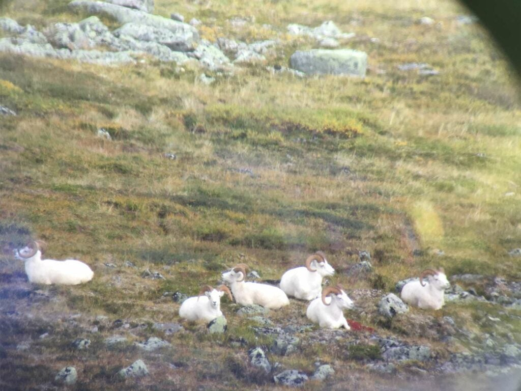 A herd of dall sheep standing on a hillside.