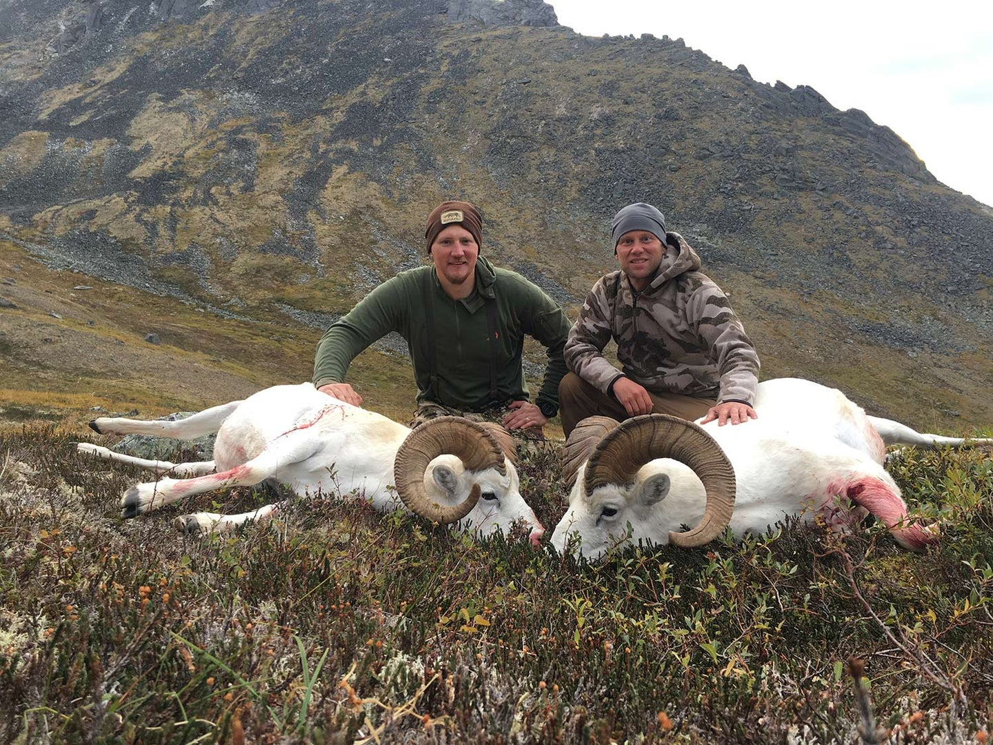 Two hunters kneeling behind two white dall sheep.