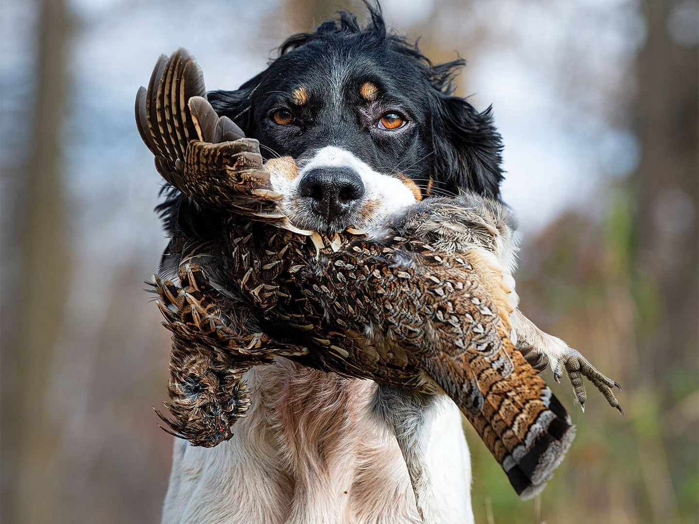 A hunting dog holding a ruffed grouse.