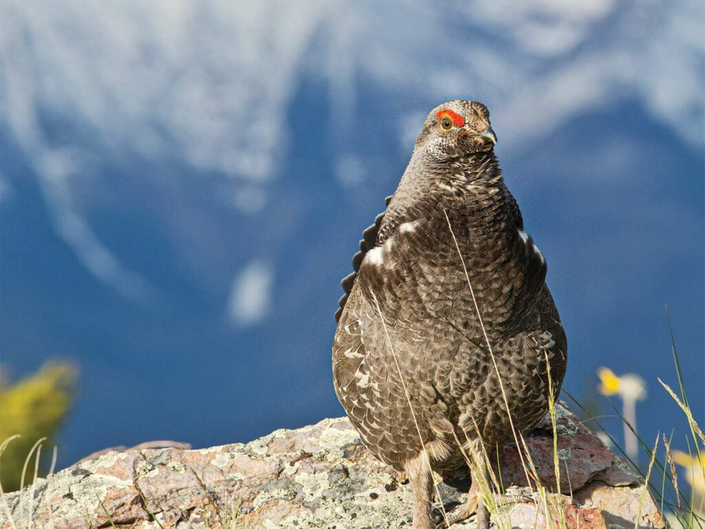 A sooty grouse sitting on a rock.