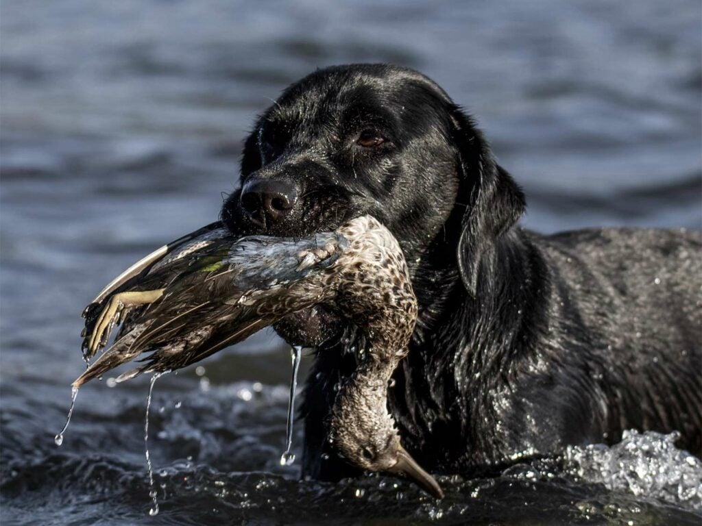 A black labrador retriever with a duck in its mouth.