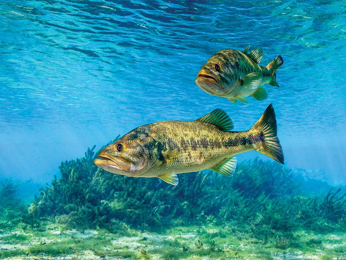 Two largemouth bass in clear blue water.
