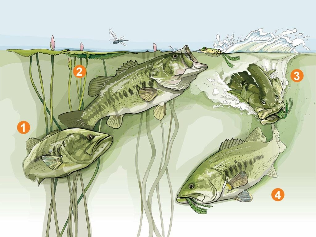 Illustration of three largemouth bass striking at a frog topwater lure.