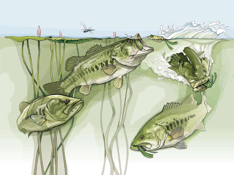 Illustration of three largemouth bass striking at a frog topwater lure.