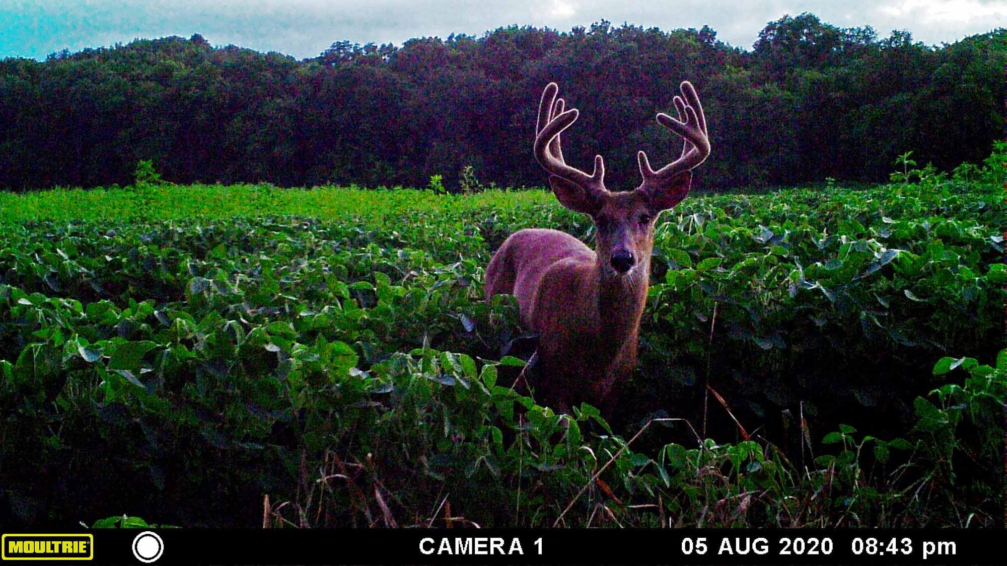 A shooter buck feeding in a Wisconsin bean field.