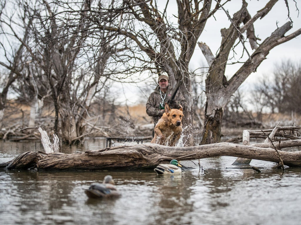 A hunting dog splashes through the water to retrieve a duck.