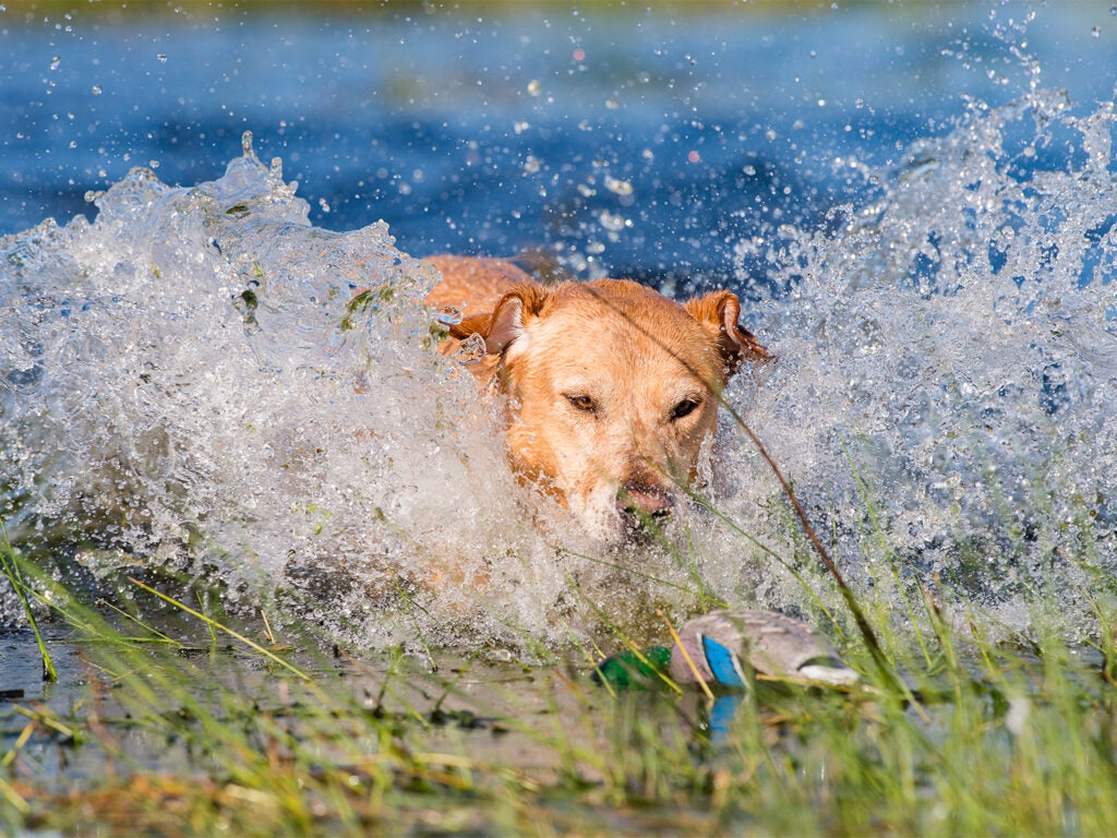 A hunting dog spashes in the water on a retrieve.