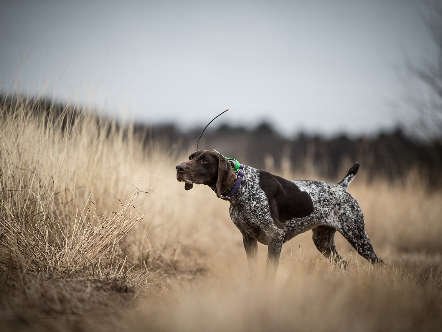 A german shorthaired pointer in an open field.