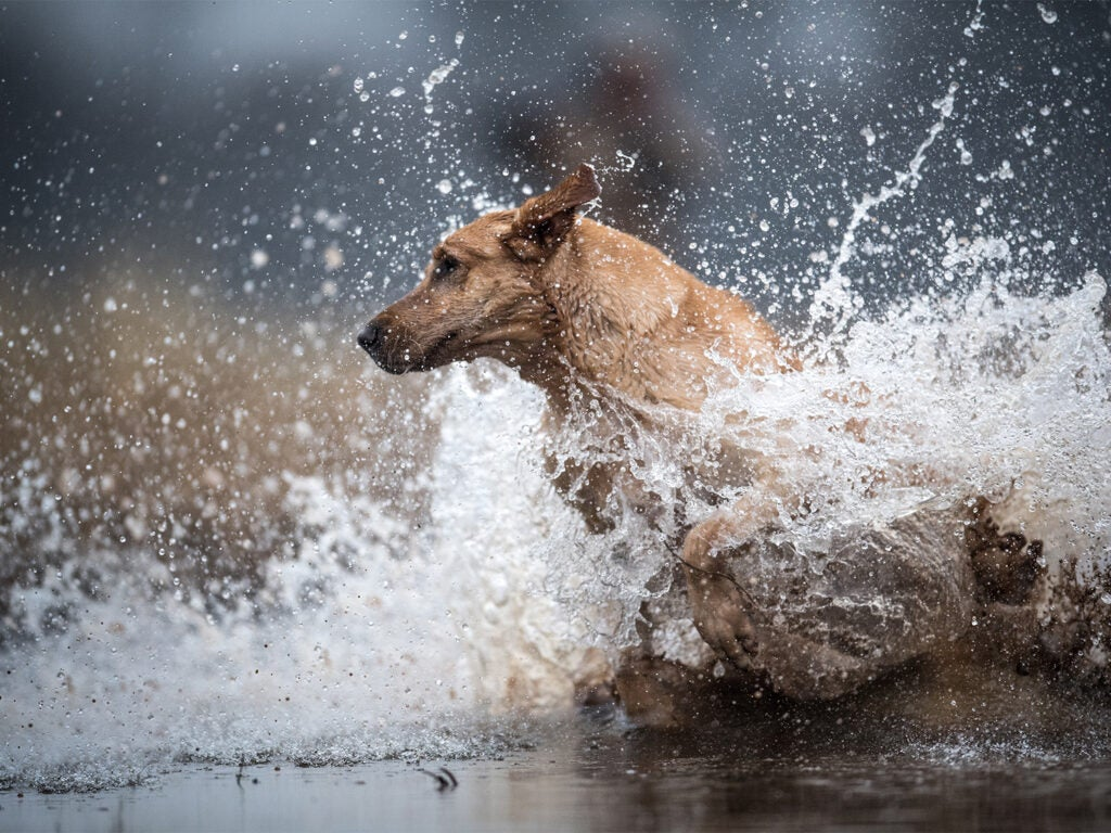 A labrador retriever splashes in the water.