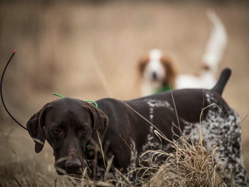 Two hunting dogs in a large open field.