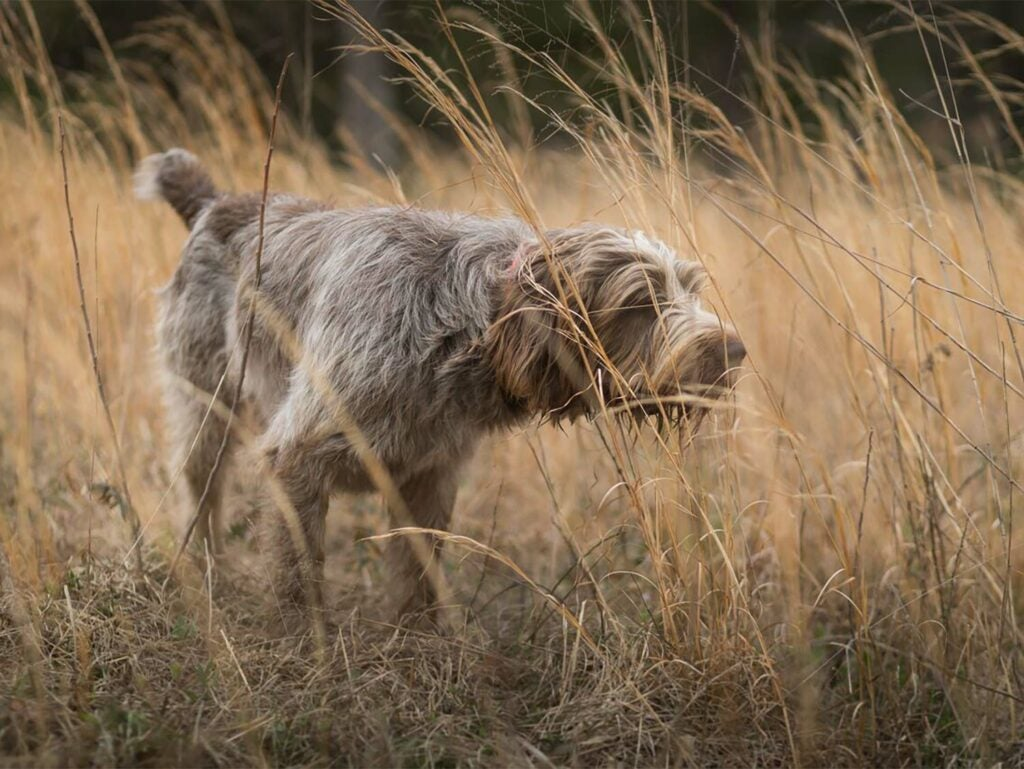 A solo hunting dog in a field of tall grass.