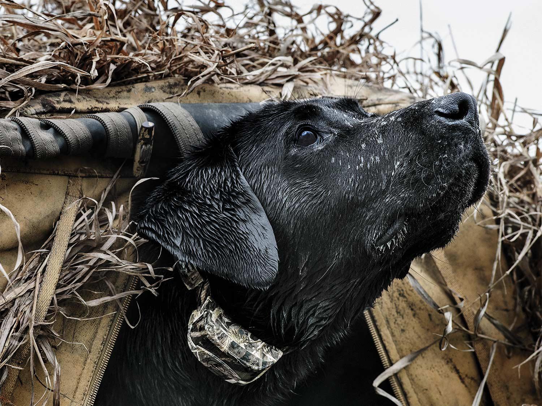 A black lab retriever peeks its head from a waterfowl hunting blind.