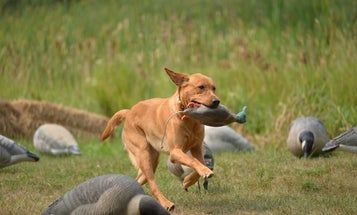Why You Need to Consider Your Training Capabilities Before Buying a Gun Dog